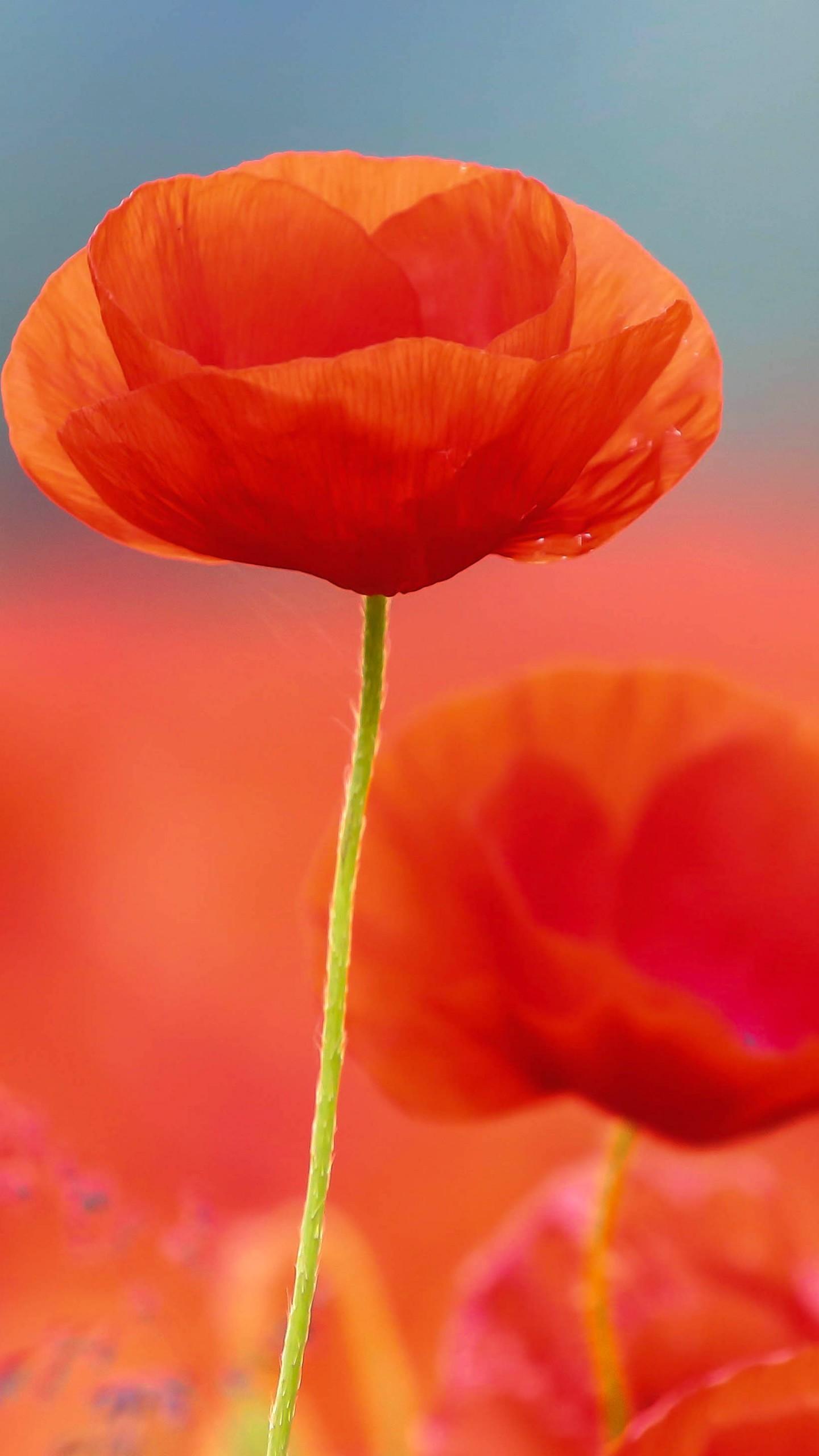 عکس زمینه گلهای شقایق قرمز زیبا پس زمینه