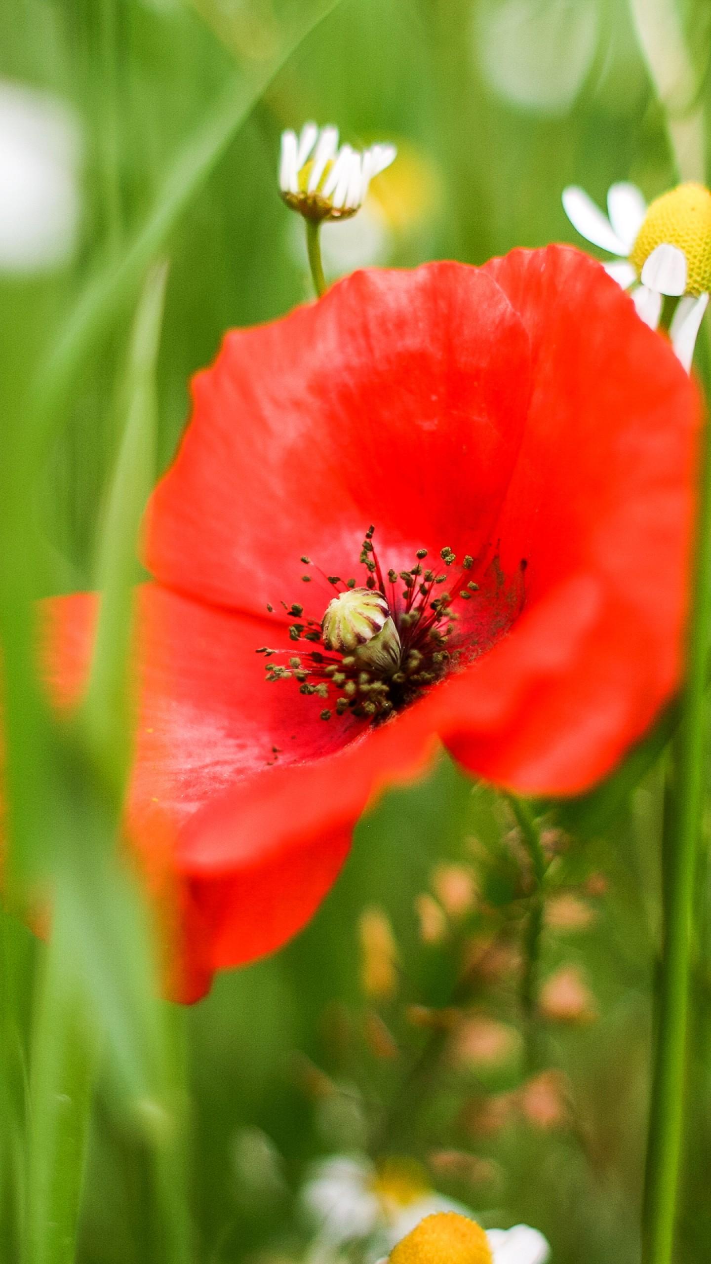 عکس زمینه گل شقایق قرمز میان بوته های سریبز پس زمینه