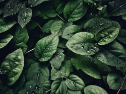 عکس زمینه کلوزآپ عکاسی از برگ با قطرات