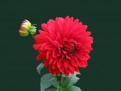 عکس زمینه گل کوکبقرمز