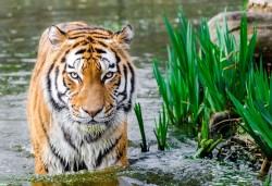 عکس زمینه ببر بنگال در آب