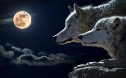 عکس زمینه گرگ سفید و ماه