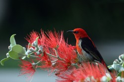 عکس زمینه پرنده قرمز و سیاه بر روی گل سرخ