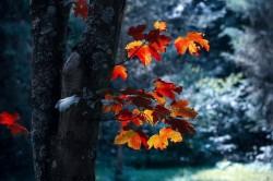 عکس زمینه درخت با برگ افرا