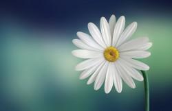 عکس زمینه گل سفید و زرد با ساقه سبز