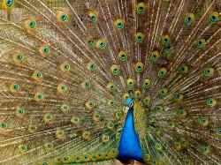 عکس زمینه طاووسی آبی زیبا