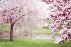 عکس زمینه شکوفه صورتی درخت گیلاس