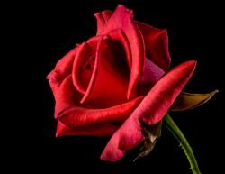 عکس زمینه گل رز سرخ