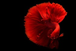 عکس زمینه ماهی قرمز بتا