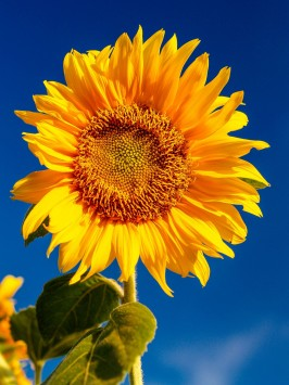 عکس زمینه گل آفتابگردان