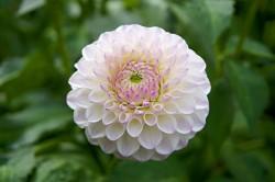 عکس زمینه گل کوکب صورتی و سفید