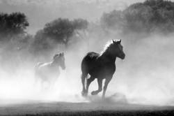 عکس زمینه اسب سفید و سیاه