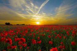 عکس زمینه دشت گل شقایق در غروب