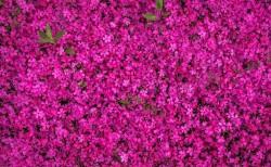 عکس زمینه گل های صورتی