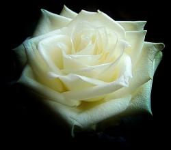 عکس زمینه گل رز سفید