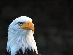 عکس زمینه عقاب آمریکایی
