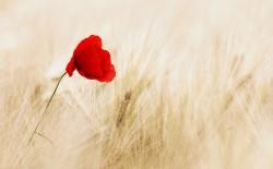 عکس زمینه گلبرگ قرمز گل شقایق