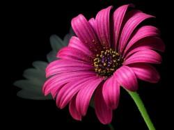 عکس زمینه گلی با گلبرگ صورتی
