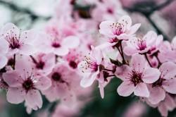 عکس زمینه شکوفه های صورتی بهاری