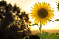 عکس زمینه گل آفتابگردان در غروب