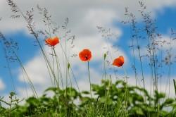 عکس زمینه گل شقایق