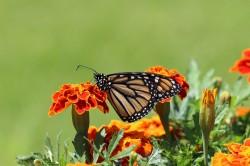 عکس زمینه پروانه نشسته بر گل
