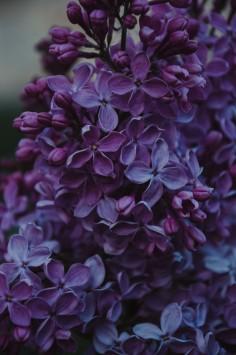 عکس زمینه گل یاس بنفش