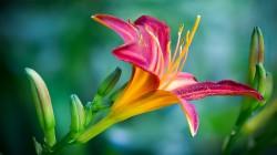 عکس زمینه گل نیلوفر صورتی و زرد