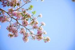 عکس زمینه گل صورتی شکوفه ای
