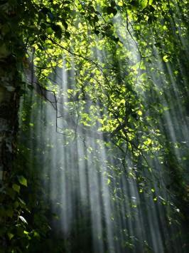عکس زمینه نور بین درختان جنگل با برگ سبز