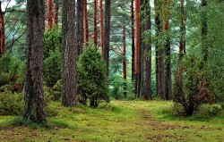 عکس زمینه درختان بلند و سبز در جنگل