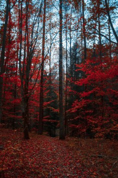 عکس زمینه درختان قرمز در جنگل پاییزی