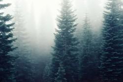 عکس زمینه درختان کاج در مه غلیظ جنگلی