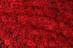 عکس زمینه گل رز قرمز