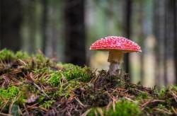 عکس زمینه قارچ قرمز و سفید