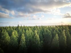 عکس زمینه جنگل درختان کاج سبز