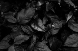 عکس زمینه برگ های سیاه