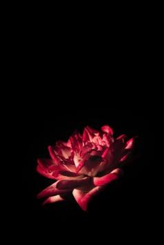 عکس زمینه گل قرمز