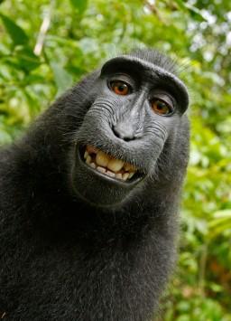 عکس زمینه لبخند شامپانزه سیاه