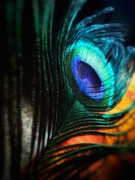 عکس زمینه پر طاووس سبز و آبی