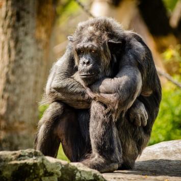 عکس زمینه شامپانزه نشسته