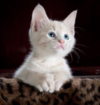 عکس زمینه بچه گربه سفید و خاکستری