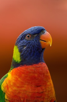 عکس زمینه طوطی آبی، نارنجی و سبز