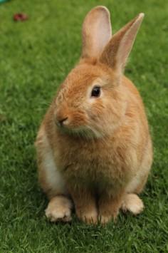 عکس زمینه نمای نزدیک از خرگوش