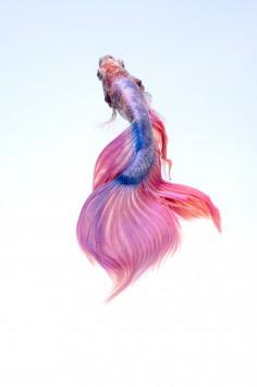 عکس زمینه ماهی سیامی رنگی