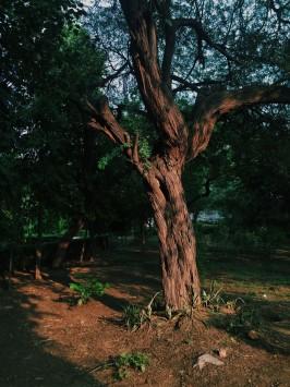 عکس زمینه درخت کهن سر سبز