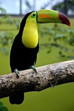عکس زمینه پرنده توکان سیاه و سبز روی شاخه درخت