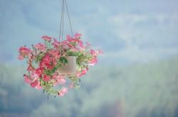 عکس زمینه گلدان گل صورتی آویز