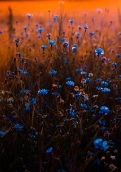 عکس زمینه گل های آبی مزرعه