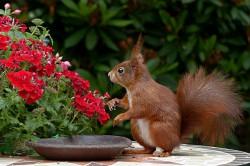 عکس زمینه سنجاب قهوه ای در کنار گل سرخ
